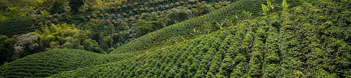 coffee-plantation-renovation