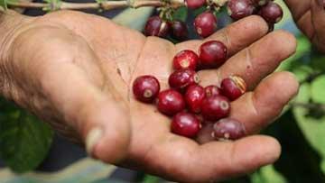 Producción de café de Colombia cerró en 13,6 millones de sacos