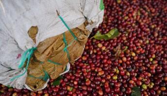 Producción de café de Colombia cae 19% en enero