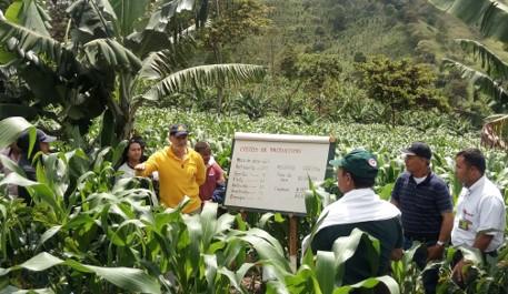 Maíz intercalado con café: más ingreso económico y seguridad alimentaria