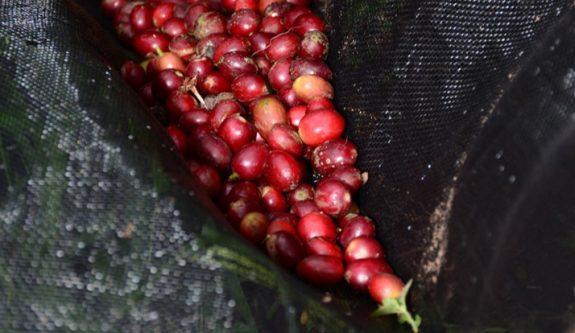 Lonas de café reducen costos en la recolección