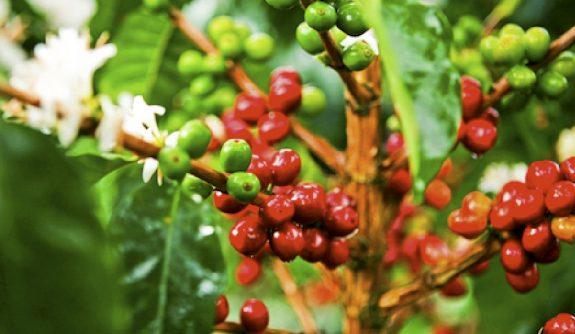 ¿Por qué tener variabilidad genética en nuestras variedades de café?