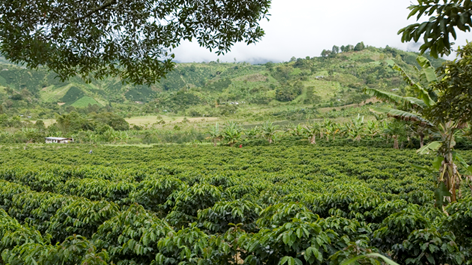 Cenicafé 1, the new coffee variety developed in Colombia
