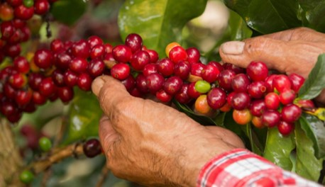 Colombian coffee production falls slightly in July and grows in last 12 months