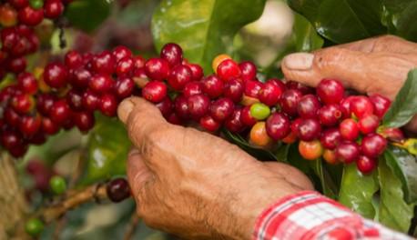Producción de café de Colombia retrocede levemente en julio y crece en últimos 12 meses