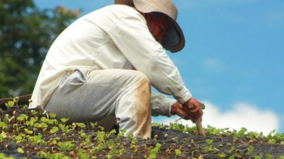With rust-resistant varieties, Colombian coffee growers save over $200 million a year