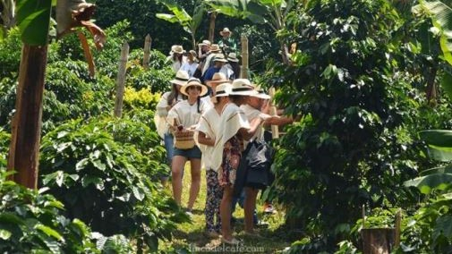 Coffee farming entices more and more domestic and foreign tourists