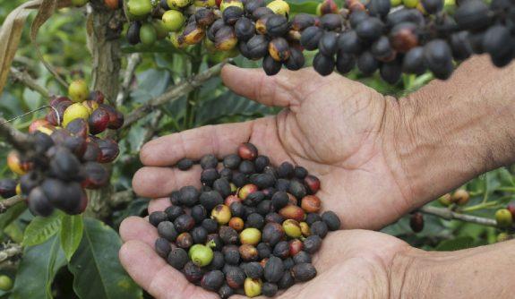 Acciones y herramientas para el manejo del cultivo del café en un fenómeno del Niño