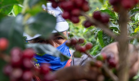 Colombian coffee production falls 4% in November