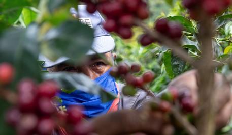 Producción de café de Colombia cae 4% en noviembre