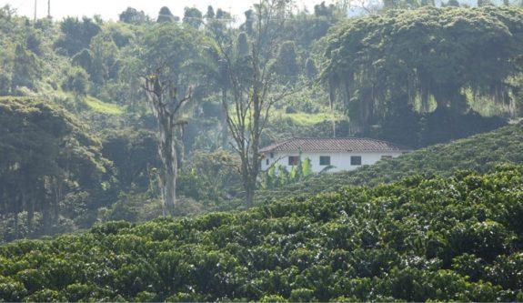 Producción estimada de café para primer semestre de 2021 supera 6 millones de sacos