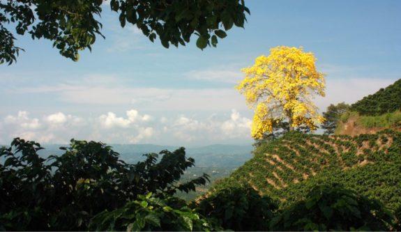 Sector cafetero aportará 1 millón de árboles nativos a meta nacional