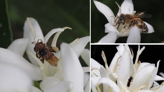 Colombian coffee farming is home to at least 88 native bee species