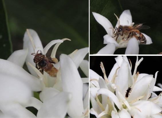 Caficultura colombiana alberga al menos 88 especies nativas de abejas