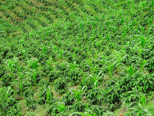 Algrano tras xito con los cafeteros gobierno y fenalce for Asociacion de cultivos tomate