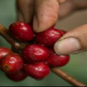 19,7% de fincas cafeteras son autosuficientes en mano de obra