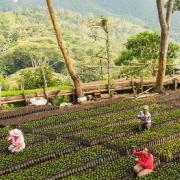 Inicia programa de apoyo a renovación de cafetales para pequeños productores