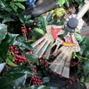 Avanzan pruebas de cosecha asistida para café