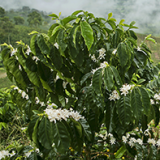Colombian Coffee Production Surpasses 13.3 Million Bags in Coffee Year 2014 / 2015