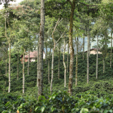 Specialty Coffees Shield Producers Facing Low International Prices