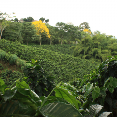 Colombia's Progresses Against Coffee Rust Favor a Reliable Supply of the Bean