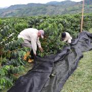 FNC presenta innovador método, con lonas, que optimiza cosecha y reduce costos de mano de obra
