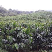 Cenicafé refuerza durabilidad de resistencia de variedades de café a la roya
