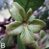 A new Species of Plant is Discovered in the Colombian Coffee Region