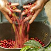 Calidad del café, clave para mejorar rentabilidad del productor