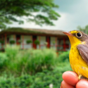 Colombian Coffee Helps Preserve the Canada Warbler, a Symbolic Migratory Bird