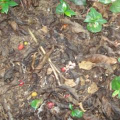 FNC hace un llamado urgente a productores a controlar broca