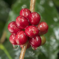 Calidad y diferenciación son dos factores claves en la industria de cafés especiales