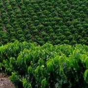 Ya están gestionados importantes apoyos para la renovación de 68 mil hectáreas de café en 2016