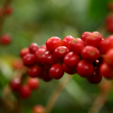 Colombian Coffee Production Recovery is Highlighted