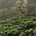 How El Niño & La Niña Affect Production of Café de Colombia