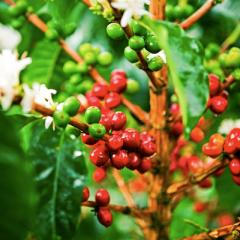 Investigación del Genoma del café, clave para la sostenibilidad del cultivo