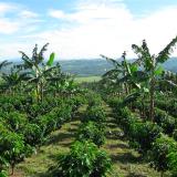 Variedad Castillo®: resistencia a la roya y a la CBD, adaptación a las regiones y calidad