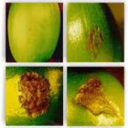 Confirman resistencia de variedad Castillo® a la Enfermedad de la Cereza del Café (CBD)