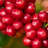 FNC launches global call for proposals to increase coffee harvesting efficiency