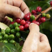 Producción de café de Colombia cierra en 13,6 millones de sacos