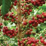 Producción de café de Colombia creció 40% en febrero