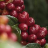 En marzo Colombia produjo 944 mil sacos de café