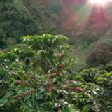 Estudio no encuentra diferencia en calidad en taza de variedades café Castillo y Caturra