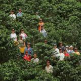 Cafeteros ya han recibido cerca de 610 mil millones de pesos a través de los programas AIC- PIC