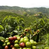 Producción de café de Colombia creció 28% en primer trimestre de 2014