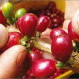 Avanza proceso de selección del Director Ejecutivo del Comité de Cafeteros  de Norte de Santander