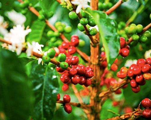 Fotos De Una Planta De Cafe