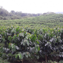 Cenicafé strengthens durability of rust resistance of coffee varieties
