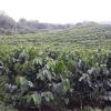 FNC, pionera en obtener derechos sobre variedades desarrolladas por Cenicafé
