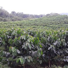FNC pioneers obtaining rights over varieties developed by Cenicafé